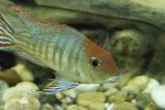 geophagus red head.jpg
