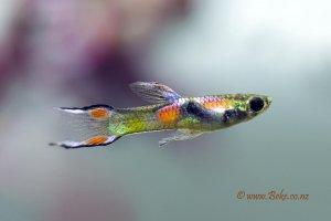 Poecilia wingei -  Endler's guppy