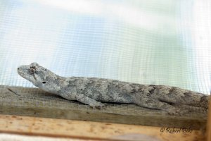 Hoplodactylus granulatus