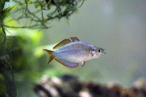 Melanotaenia praecox - Dwarf Neon Rainbowfish