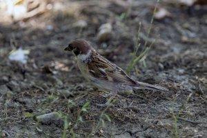 Poljski vrabac - Passer montanus