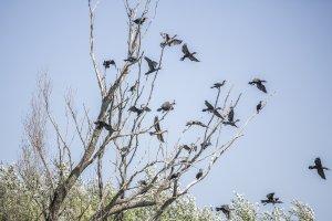 Phalacrocorax carbo - Veliki kormoran