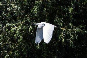 Egretta garzetta - Mala bela caplja