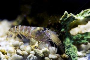 Pistol shrimp (Alpheidae)