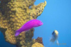 Pseudochromis fridmani - Strawberry Gramma