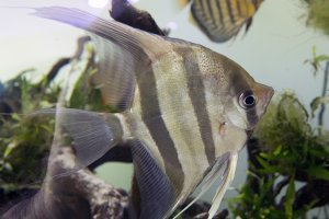 Altum angelfish and wild discus