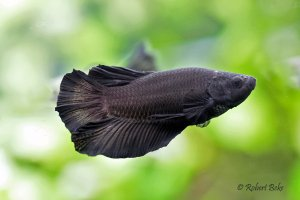 Black HF Plakat Betta