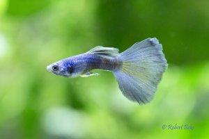 Poecilia reticulata - Moscow Blue