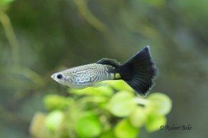 Poecilia reticulata - Blue Cobra