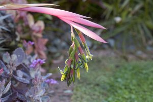Billbergia nutans - Queen's tears