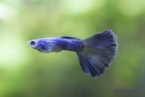 Blue Moscow Guppy