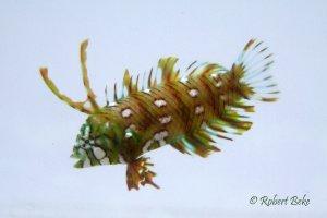 Novaculichthys taeniourus - ragon Wrasse