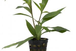 Hygrophila angustifolia - Hygrophila Blue