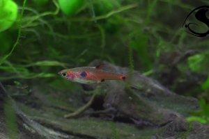 Boraras maculatus