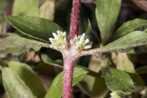 Alternanthera reineckii - Red Hygrophila