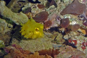 Tetrosomus gibbosus - Camel Cowfish