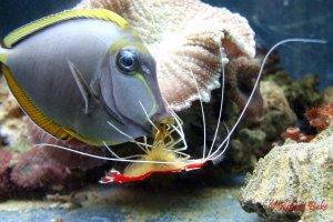 Cleaner shrimp in action