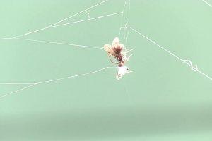 Leucauge dromedaria