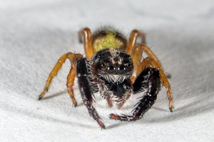 Trite planiceps - Black headed jumping spider