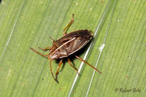 Linear sedge shield bug - Rhopalimorpha lineolaris