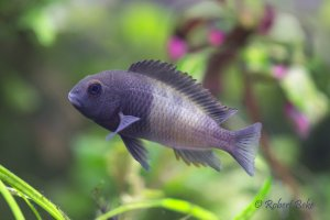 "Tropheus sp. Black ""Ikola"""