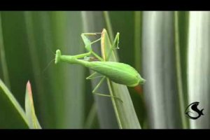 Praying mantispraying swaying