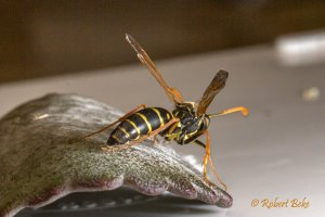 Asian Paper wasp
