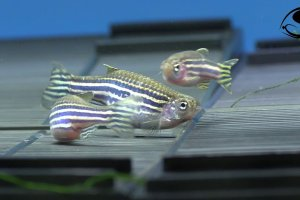 Breeding Zebra Danios