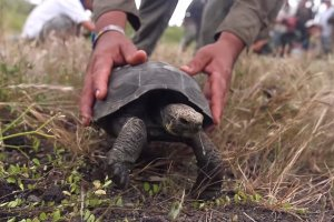 The Return of Tortoises to Santa Fe Island - June 27, 2015