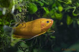 Orange Thick Lipped Gourami - Trichogaster labiosa