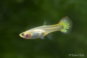 Sunset Guppy Female  -  Poecilia reticulata